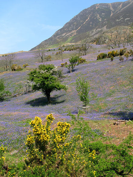 Rannerdale Bluebells in the Lake District